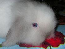 TAO bélier angora siamois yeux bleus DUCHESSE X MAIKO