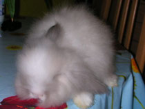 BOUNTY bélier angora siamois liste blanche yeux bleus FLEUR X ROCKY