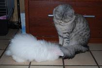 Lili, bélier angora blanche aux yeux bleus, FLEUR X POSSEIDON
