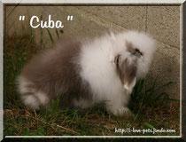 """Cuba, bélier angora tâcheté havane ( CACAO X TIMY) à l'élevage """" I love pets """""""
