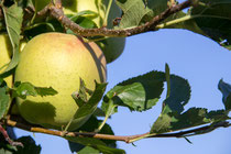 Golden Delicious ernten wir heuer ab dem 15. September.