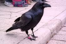 Acht Raben werden aus traditionellen Gründen im Tower of London gehalten.