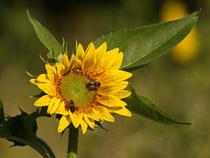 Sonnenblume mit Insektenbesuch