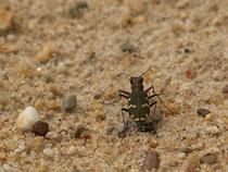 Kupferbrauner Sandlaufkäfer