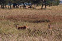 Hirsche auf dem Darß