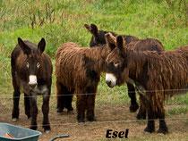 Poitou-Esel an der Elbe
