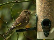 Grünfink ♀