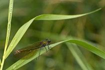 Blauflügel-Prachtlibelle (Weibchen)