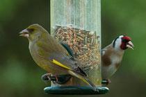 Grünfink und Stieglitz