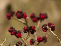 Blüten des Eisenholzbaums