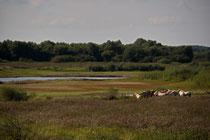 Konikpferde in den Lenzener Elbeauen
