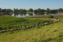 Schafsreigen an der Mittelelbe bei Wootz