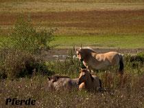 Wildpferde in der Elbtalaue