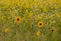 Sonnenblumen am Rand der Moorlandschaft