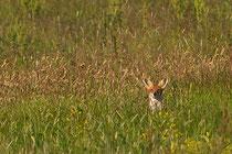 Ein Fuchs schnürte durch die Wiese...