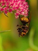 Eine Hornisse verzehrt eine Fliege