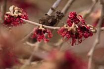 Hamamelisblüten