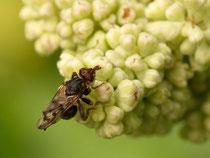 Frühe Buckelblasenkopffliege  (Myopa tessellatipennis)