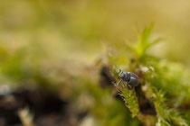Spitzmausrüssler (Betulapion simile), ca. 2 mm