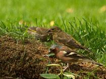 Grünfinken mit Buchfinkmännchen