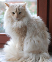 amber-silver-shaded Norwegische Waldkatze