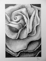Rose  30x 20 cm  Bleistiftzeichnung