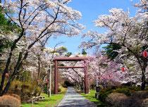 4月中旬 鳥居を彩る桜並木 山岸一二三さん撮影