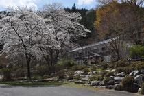 4月下旬 桜と姫宮林間学校