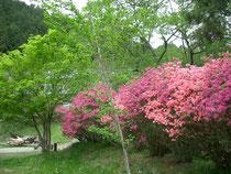 5月中旬 ツツジと新緑