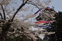 4月下旬 桜と鯉のぼり