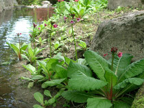 5月中旬 水辺に咲くクリンソウ
