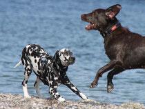 spielende Hunde