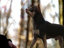 Kurzhaar-Chihuahua Mumin