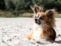 Gis Chihuahua