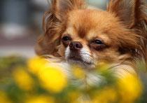 Orlando mein Chihuahua