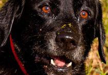 Labrador-Dame Kessi