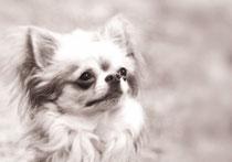 Orlando, mein Chihuahua