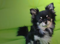 Jackson-Schatzi mein Chihuahua