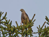 Schwarzmilan (Milvus migrans), Flachsee