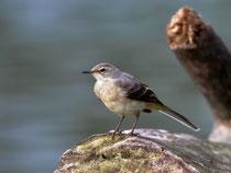 Bergstelze (Motacilla cinera) Jungvogel, Villnachern