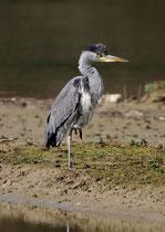 Graureiher (Ardea cinerea), Jungvogel, Flachsee