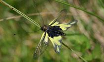 Libellen-Schmetterlingshaft (Libelloides coccajus), Bözen AG