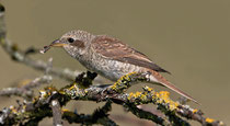 Neuntöter (Lanius collurio), Jungvogel, Schinznach