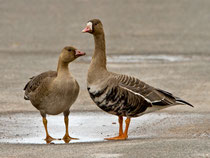 Blässgans mit Jungvogel, Helgoland D
