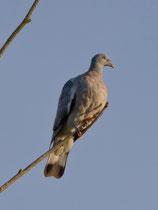 Ringeltaube (Columba palumbus), Jungvogel, Petit Camargue Alsacienne