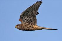 Turmfalke W (Falco tinnunculus), Hellikon AG