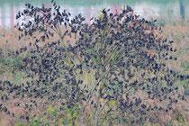 Star (Sturnus vulgaris), Schwarm lässt sich am Abend auf einem Schlafbaum nieder, Klingnauer Stausee