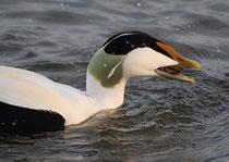 Eiderente verspeist eine Muschel, Hurden Zürichsee