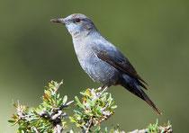 Blaumerle (Monticola solitarius), Aouluz, Marokko