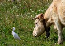 Kuhreiher suchen gerne die Nähe von Kühen und Schafen ... (Mertola, Portugal)